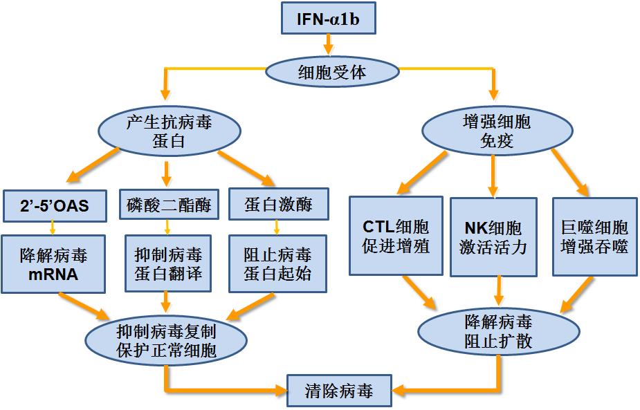细胞的增殖 知识结构图
